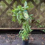 Passiflora 'Constance Elliot' (Passionflower) (3L)