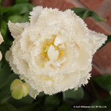 Tulip 'Snow Crystal' (Double Fringed)- PACK of 10 Premium size bulbs