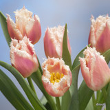 Tulip 'Bell Song' (Fringed) - PACK of 10 Premium size bulbs