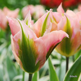 Tulip 'China Town' (Viridiflora) - PACK of 10 Premium size bulbs