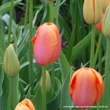 Tulip 'Delta Storm' (Triumph) - PACK of 10 Premium size bulbs
