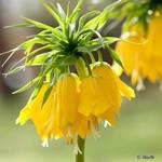 Fritillaria (Crown Imperial) 'Lutea' -6 bulbs