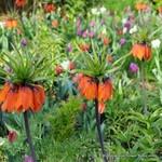 Fritillaria (Crown Imperial) 'Aurora' - 3 bulbs