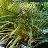 Carex morrowii 'Everglow' 3ltr