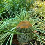 Carex oshimensis 'Evergold' (Grass) 3ltr