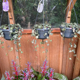 Ceropegia woodii hanging (String of hearts)