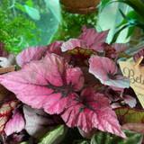 Begonia 'Indian Summer'
