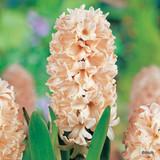 'Apricot Passion' Hyacinths
