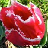 Tulip 'New Santa' BULK 100 or 250 Bulbs