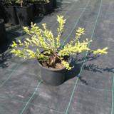Lonicera nitida (Box Honeysuckle) 25-40cm - 5ltr
