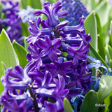 'Blue Jacket' Hyacinths