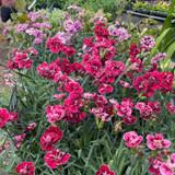 Dianthus sugar