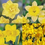 Yellow Mixed Daffodil 25KG