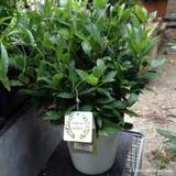 Laurus nobilis ball (Bay topiary ball) 40-45cm