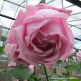 'Madame Caroline Testout' Climbing Rose