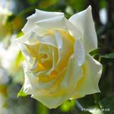 'Paul's Lemon Pillar' - Climbing Rose