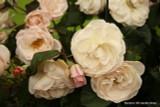 English Miss (Standard Rose)
