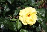 Golden Wedding (Standard Rose)