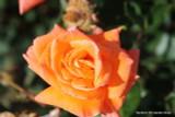 Lovers Meeting (Standard Rose)
