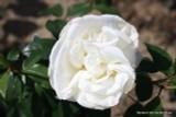Silver Anniversary (Standard Rose)