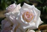 Silver Wedding  (Standard Rose)