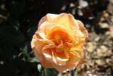 Whisky Mac (Standard Rose)