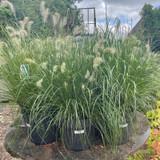 Pennistemum grass - INSTANT