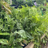 Mixed ferns - big