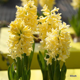 'Gipsy Princess' Hyacinths