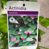 Actinidia kolomikta (3L)
