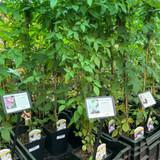 Clematis 'Grandiflora' (3L)