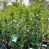 Passiflora 'Lady Victoria' (Passionflower)