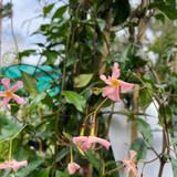 Trachelospernum 'Pink Showers'