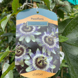 Passiflora caerulea 'Damsels Delight'