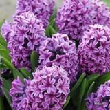 'Miss Saigon' Hyacinths