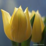 Tulip Viridiflora 'Formosa' BULK - 100 or 250 Bulbs