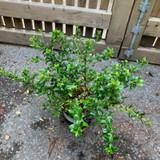 Escallonia 'Apple Blossom' - 2ltr