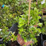 Pyracantha 'Red Column' (Firethorn)  3ltr pot