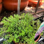 Thyme 'Russetings' (14.5cm potted)