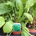 Sorrel Broad-leaf (14.5cm potted)