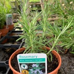 Rosemary 'Miss Jessop's Upright' (14.5cm potted)