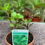 Mint Eau de Cologne (14.5cm potted)