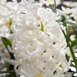 'Aiolos' Prepared Hyacinths (Winter flowering)