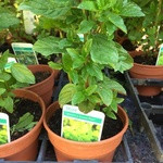 Mint Jessica's Sweet Pear (14.5cm potted)