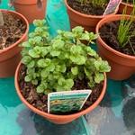 Mint, garden/spearmint (14.5cm potted)