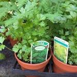 Celery Leaf (14.5cm potted)