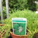 Chamomile- Lawn (14.5cm potted)