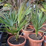 Hardy palm (Chamaerops humilis) SPECIAL