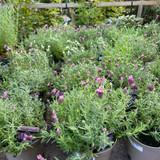 French lavender sto.