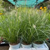 Pennisetum 'Hameln' - grass